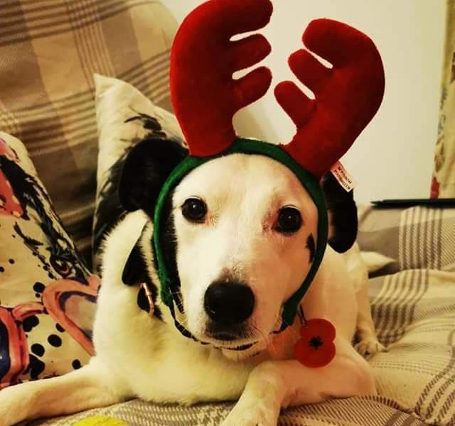 Spot wearing reindeer ears