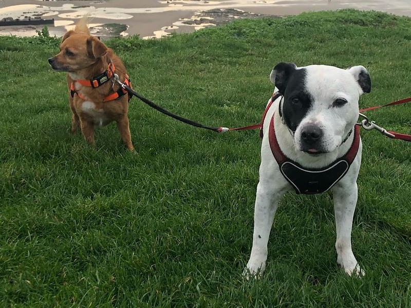 Bandito and brother staffie on walking